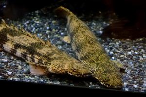 古代魚の末裔