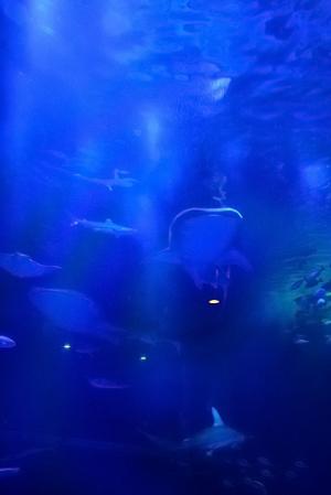ジンベエザメ 2頭