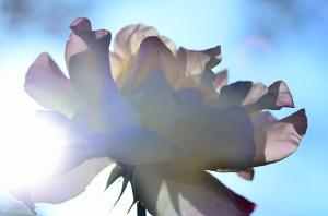 光の中に咲く