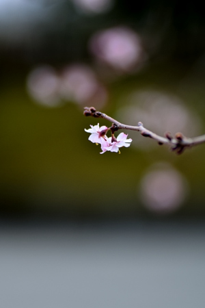 冬桜~可憐な花