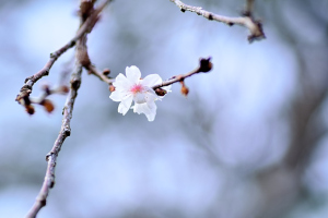 兼六園十月桜