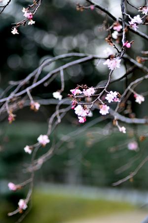 冬桜咲く日