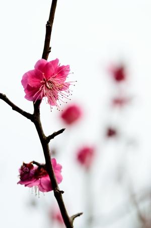 満開の梅~兼六園梅林