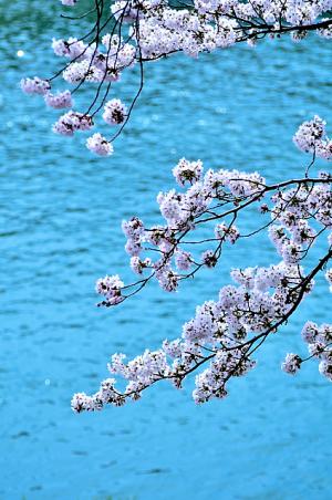 満開の桜~犀川沿い