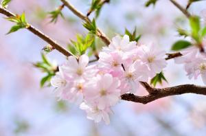 もう葉桜になりかけ