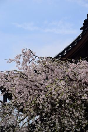 妙典寺の枝垂れ桜