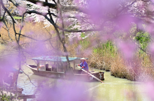 流し舟と桜と大聖寺川