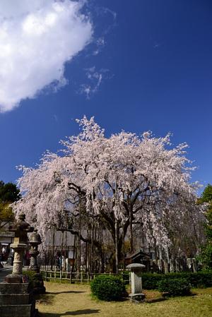 福井 足羽神社の枝垂れ桜