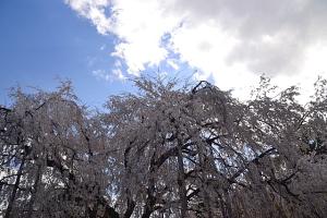 流れ落ちる桜