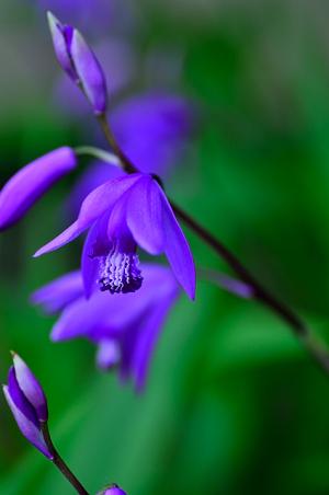 庭に咲いたシラン