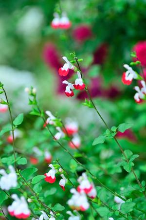 可愛いセージの花
