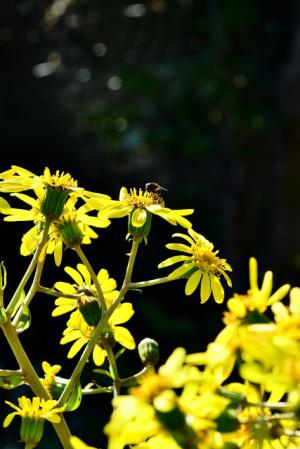 ツワブキと蜂