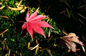舞い降りた紅葉