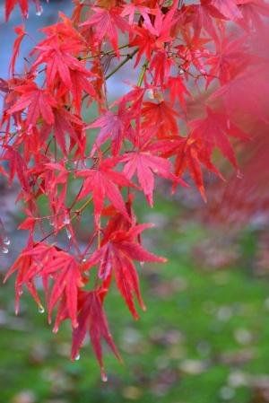 雨の紅葉狩り